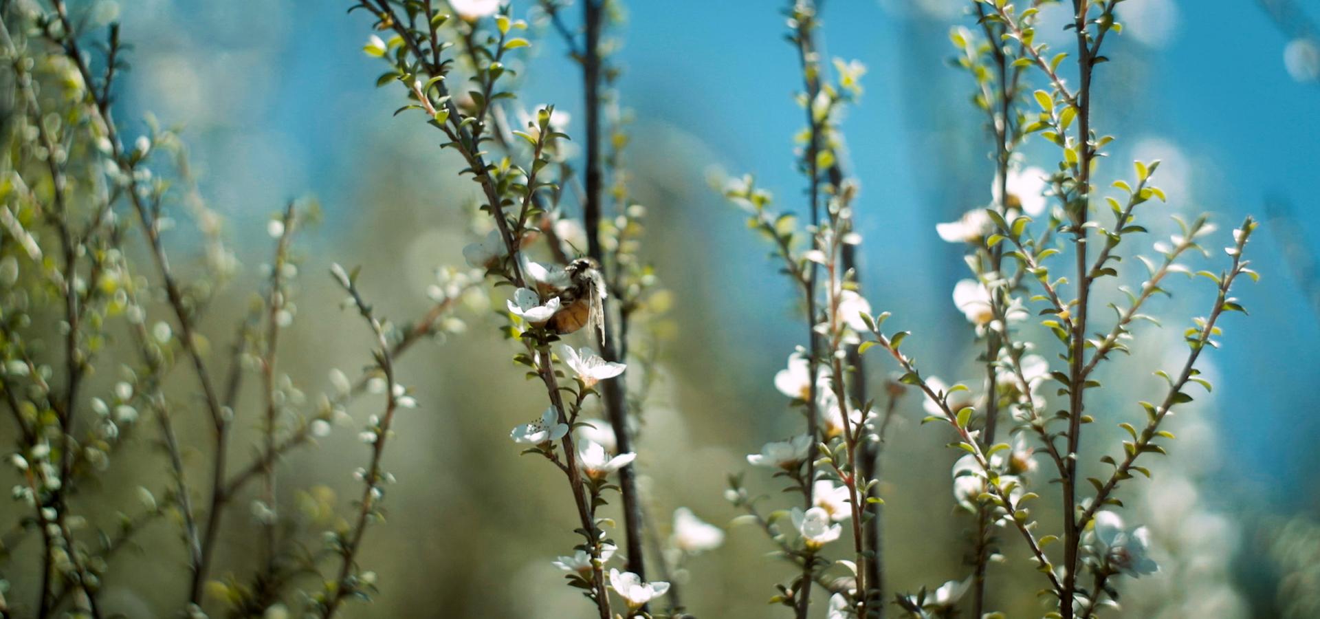 Kotahi honey bee on mānuka flower